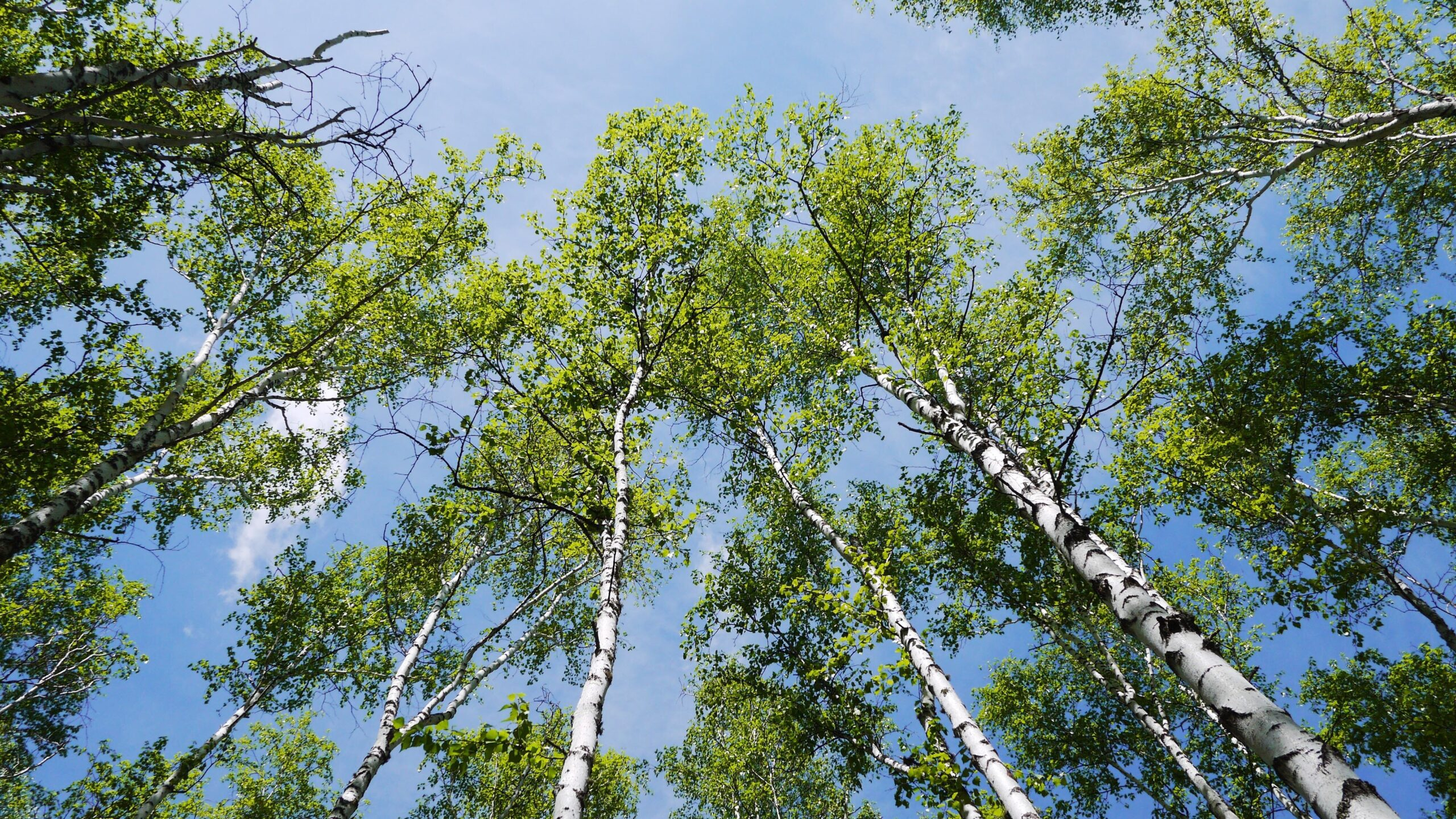 Cross-allergies are common with birch allergies